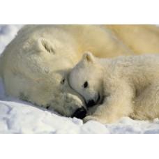 1-605 Polar Bears