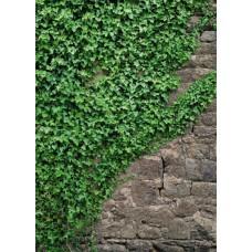 4-324 Ivy